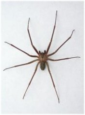 Brown Spiders in Massachusetts http://www.brown-recluse.com/spiderinfo.html