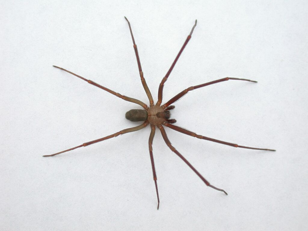 Brown Recluse First Aid Kit  Spider Information